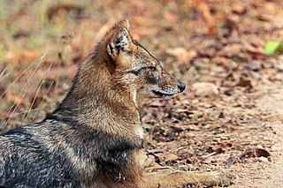 Golden jackal (Canis aureus indicus) male head.jpg
