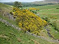 Gorse on Bassenthwaite Common - geograph.org.uk - 817979.jpg