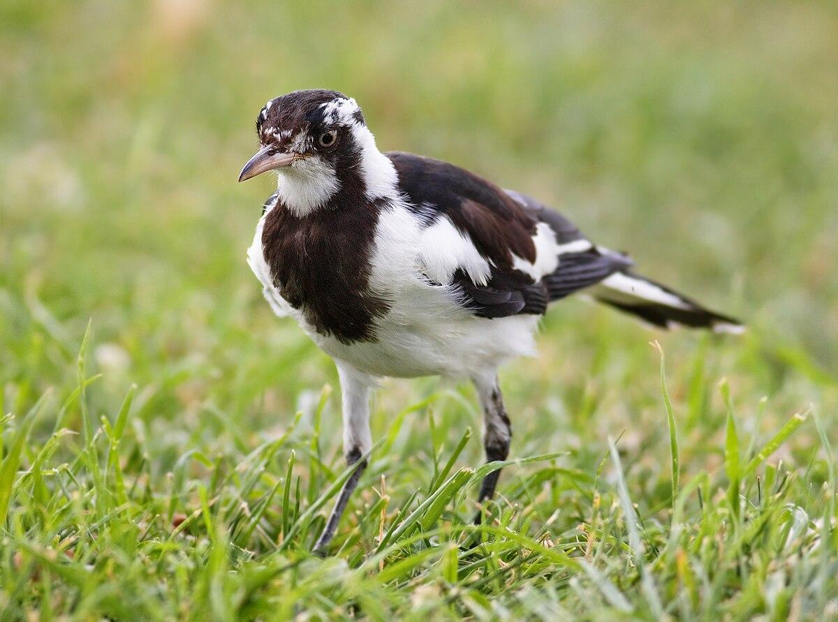 magpie lark wikipedia