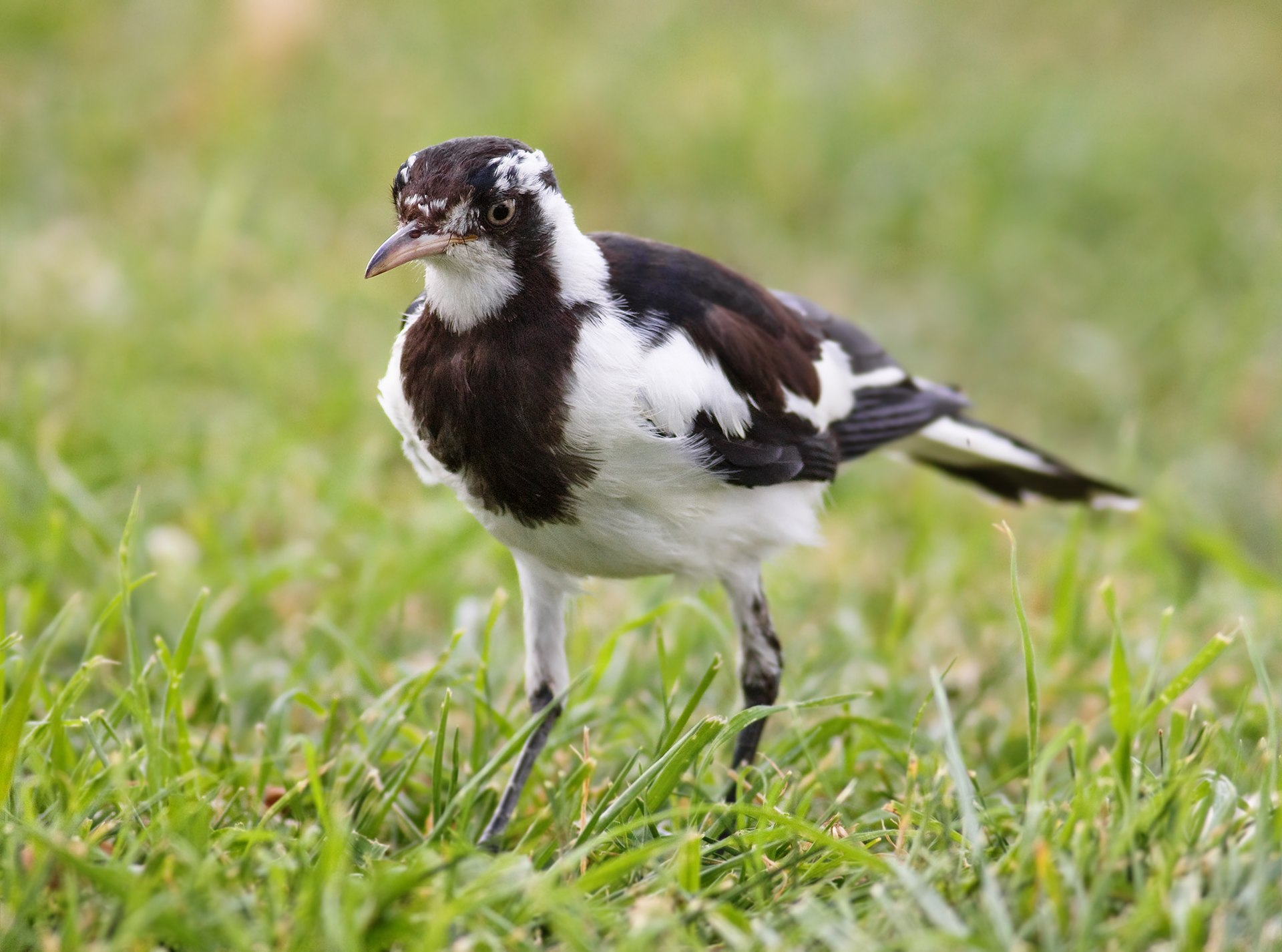 magpie australian lark cyanoleuca female birds wikipedia bird edit