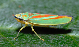 Graphocephala fennahi (aka)