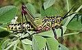 Grasshopper singida.jpg