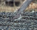 Gray-tailed Tattler (Heteroscelus brevipes) (2586864995).jpg