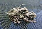 Gray treefrog amplexus.JPG