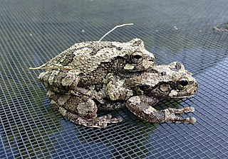 Gray Treefrogs in amplexus