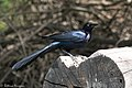 Great-tailed Grackle National Butterfly Center Mission TX 2018-02-28 14-45-49 (38852710370).jpg