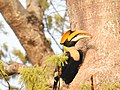 Great Hornbill Male2.jpg
