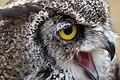 Great Horned Owl 4a (6019751668).jpg