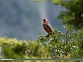 Great Rosefinch (Carpodacus rubicilla) (22529589218).jpg