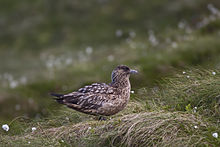 Great Skua.jpg