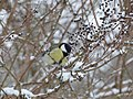 Great tit in the snow.jpg