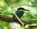 Green-and-rufous Kingfisher - Darién - Panama (48437772991).jpg