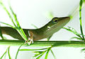 Green Anole Lizard.jpg