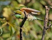 Green Bee-eater (Merops orientalis) in Hyderabad, AP W IMG 1351.jpg