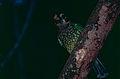 Green Catbird (Ailuroedus crassirostris) (9837060463).jpg