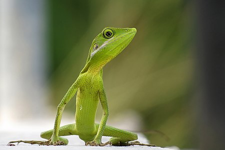 Green Crested Lizard.jpg