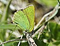 Green Hairstreak (26287848733).jpg