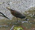 Green Heron.Butorides virescens - Flickr - gailhampshire (1).jpg