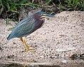 Green Heron (39031897441).jpg