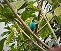 Green Honeycreeper Chlorophanes spiza - Flickr - gailhampshire.jpg