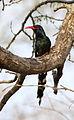 Green Wood Hoopoe, Phoeniculus purpureus, at uMkhuze Game Reserve, kwaZulu-Natal, South Africa (15432313581).jpg