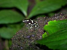 Green and Black Poison Arrow Frog.jpeg