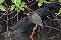 Green heron in mangrove (23644713114).jpg