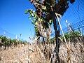 Grenache vines in California vineyard.jpg