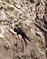 Grey-throated Martin (Riparia chinensis), Chitwan, Nepal (21611564266).jpg