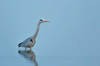 Grey Heron-1756.jpg