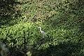 Grey Heron - Ardea cinerea (45565513262).jpg