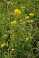 Grossenlueder Mues Kalkberge Lotus corniculatus.png