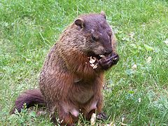 The Woodchuck, a large ground squirrel (Marmota monax)