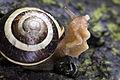 Grove snail, Lodz(Poland)07(js).jpg