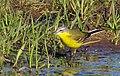 Gulärla Yellow Wagtail (14153307003).jpg