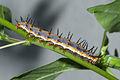 Gulf fritillary (Agraulis vanillae) caterpillar on Passiflora incarnata.jpg