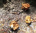 Gyromitra montana - Flickr - brewbooks.jpg