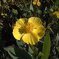 H20140415-1624—Dendromecon harfordii —RPBG Plant Sale-1 (13907053263).jpg