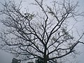 HK Central Zoo & Botanical Gardens 樹叉子 tree 01.JPG