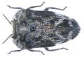 Habroloma subbicorne (Motschulsky, 1860).png