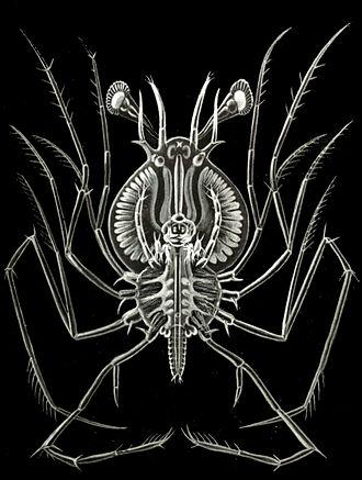 Achelata - The phyllosoma larva is characteristic of the Achelata