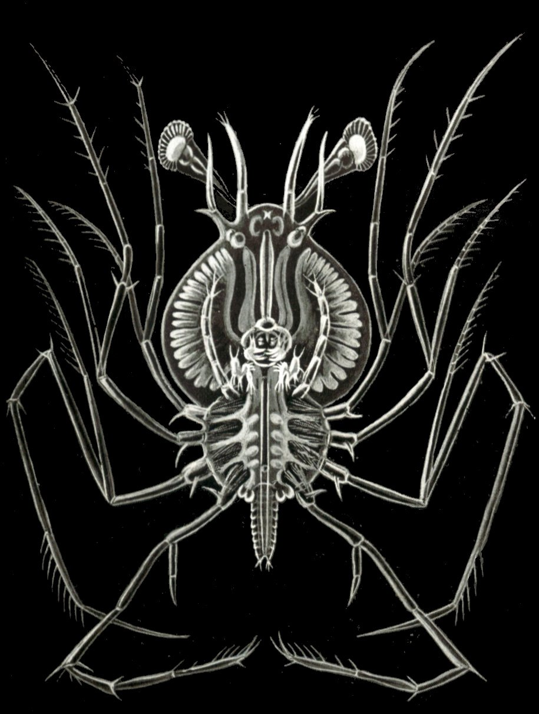 Haeckel Phyllosoma
