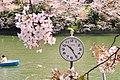 Hanami in Chidorigafuchi (45966830335).jpg