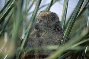 Östlicher Bambuslemur (Hapalemur griseus)