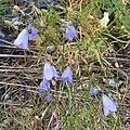 Harebell (Campanula rotundifolia) - Nesodden, Norway 2020-09-20 (01).jpg