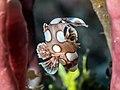 Harlequin sweetlips juvenile (Plectorhinchus chaetodonoides) (29818385868).jpg