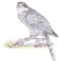 Havik Accipiter gentilis Jos Zwarts 3.tif