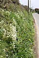 Hedgerow near Bosliven - geograph.org.uk - 1251407.jpg