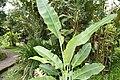 Heliconia angusta 11zz.jpg