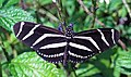 Heliconius charitonius (zebra longwing butterfly) (Florida, USA) 6 (17260152655).jpg